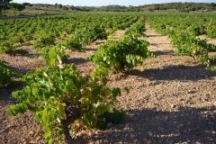 Exp.-Vinedos-en-Belmonte